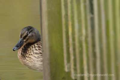 A Walk Through The Wetland Centre At Slimbridge